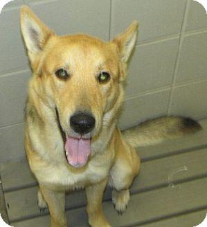 German Shepherd Dog Mix Dog for adoption in Aiken, South Carolina - JAEGER