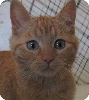 Domestic Shorthair Kitten for adoption in Lloydminster, Alberta - Badger
