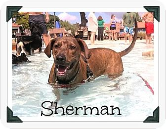 Rhodesian Ridgeback/Plott Hound Mix Dog for adoption in Arlington, Texas - Sherman