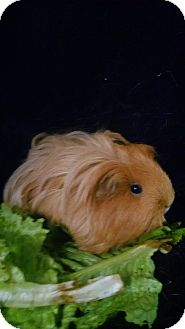 Guinea Pig for adoption in Aurora, Colorado - Firestarter