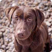 Adopt A Pet :: Amber - Lewisville, IN