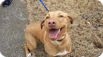 Labrador Retriever Mix Dog for adoption in Nashville, Tennessee - Pippa