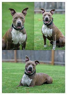 American Pit Bull Terrier Dog for adoption in Fulton, Missouri - Duke - Oklahoma