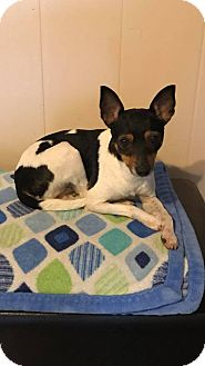 Rat Terrier Dog for adoption in WAGONER, Oklahoma - Lucy