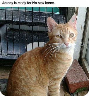 Domestic Shorthair Cat for adoption in Lexington, Missouri - Antony