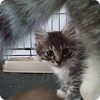 Adopt A Pet :: Kitty - Colville, WA