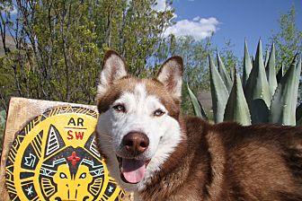 Siberian Husky Dog for adoption in Alamogordo, New Mexico - Wash