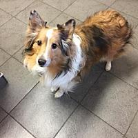 Adopt A Pet :: Captivating Carson - Pueblo West, CO