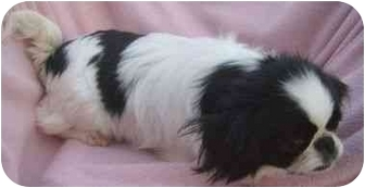 Japanese Chin Dog for adoption in House Springs, Missouri - Missy