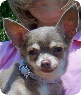 Chihuahua Dog for adoption in Olive Branch, Mississippi - #42