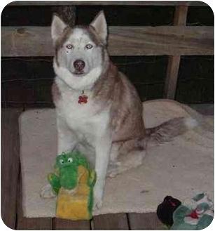 Siberian Husky Dog for adoption in Scottsdale, Arizona - Akasha (Flagstaff)