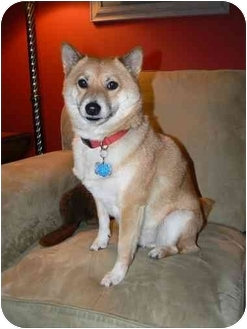 Shiba Inu Dog for adoption in Round Lake, Illinois - Rocket (Wisconsin)