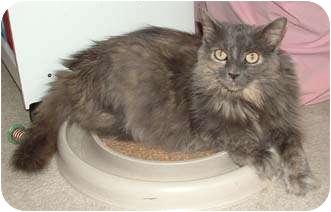 Domestic Longhair Cat for adoption in Merrifield, Virginia - Nikki