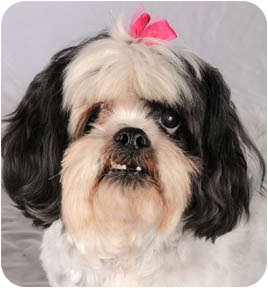 Shih Tzu Dog for adoption in Chicago, Illinois - Lily