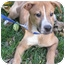 Photo 2 - Australian Cattle Dog/Hound (Unknown Type) Mix Puppy for adoption in Mt. Prospect, Illinois - Mork