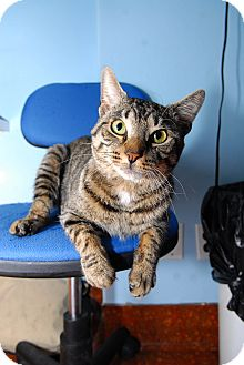 Domestic Shorthair Cat for adoption in New York, New York - Tiger