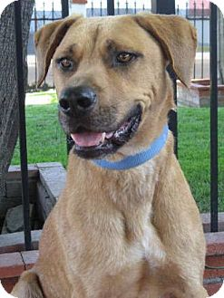 Rhodesian Ridgeback Mix Dog for adoption in Poway, California - LOKY
