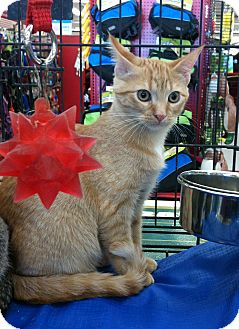 Domestic Shorthair Kitten for adoption in Mora, Minnesota - Pumpkin