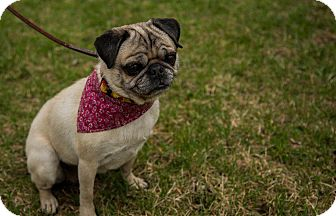 Pug Dog for adoption in Ile-Perrot, Quebec - Maggie