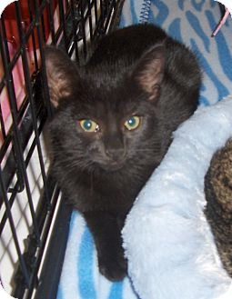 Domestic Shorthair Cat for adoption in Richmond, Virginia - BooBoo