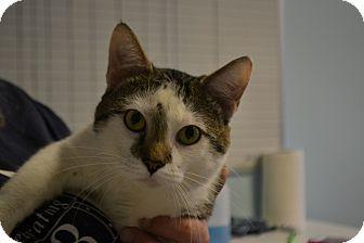 Domestic Shorthair Cat for adoption in Edwardsville, Illinois - Tarzan