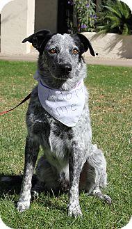 Australian Cattle Dog Mix Dog for adoption in Phoenix, Arizona - Captain