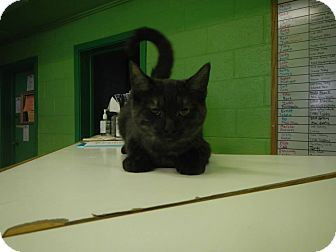 Domestic Shorthair Kitten for adoption in Edwards AFB, California - Lea