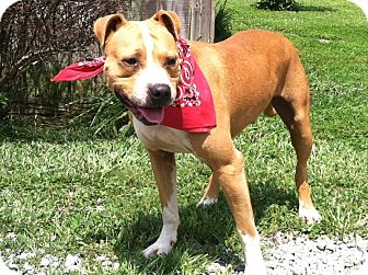 Pit Bull Terrier Mix Dog for adoption in Florence, Indiana - Lex