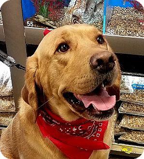 Labrador Retriever Dog for adoption in Coppell, Texas - Henry