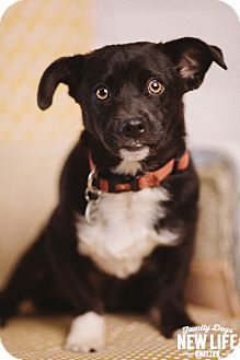 Corgi/Chihuahua Mix Dog for adoption in Portland, Oregon - Frank