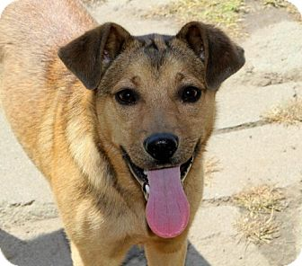 German Shepherd Dog/Australian Cattle Dog Mix Puppy for adoption in Liberty Center, Ohio - Sully
