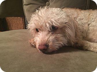 Miniature Poodle Mix Dog for adoption in Denver, Colorado - Stella