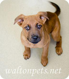 Shepherd (Unknown Type)/Labrador Retriever Mix Puppy for adoption in Monroe, Georgia - LATTE