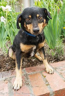 Beagle/Shepherd (Unknown Type) Mix Dog for adoption in Enfield, Connecticut - Larry