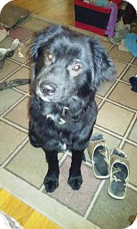Collie/Labrador Retriever Mix Dog for adoption in ST LOUIS, Missouri - Max