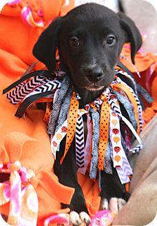 Labrador Retriever/Australian Shepherd Mix Dog for adoption in Woonsocket, Rhode Island - Stockton - MEET ME