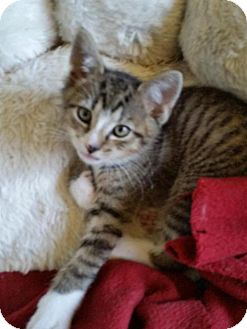 Domestic Shorthair Kitten for adoption in Vacaville, California - Gizmo