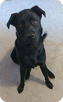 Labrador Retriever Mix Dog for adoption in Jacksonville, North Carolina - Harlem
