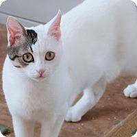Adopt A Pet :: Kamikaz - Santa Rosa, CA