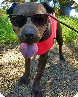 Shar Pei/American Staffordshire Terrier Mix Dog for adoption in Los Angeles, California - Shadow