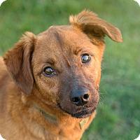 Adopt A Pet :: Beau Jangles - Westfield, NY