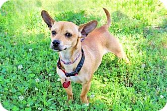 Chihuahua/Dachshund Mix Dog for adoption in Washington, D.C. - TIQUILA