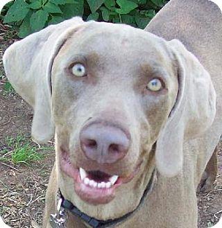Weimaraner Dog for adoption in Guthrie, Oklahoma - Bella