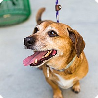 Adopt A Pet :: Kenny the Bedoxie - Los Angeles, CA