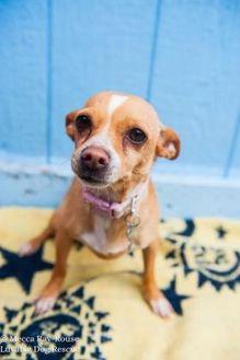 Chihuahua Mix Dog for adoption in Eugene, Oregon - Jalapeno