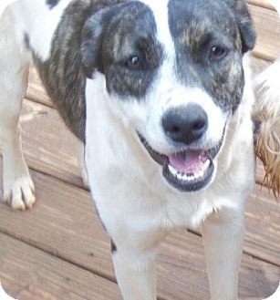 Border Collie Mix Dog for adoption in Anderson, South Carolina - Kendra