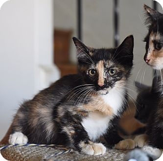 Domestic Shorthair Kitten for adoption in Baltimore, Maryland - Miney