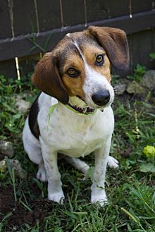 Beagle Mix Dog for adoption in Sparta, New Jersey - Suzie