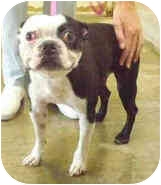 Boston Terrier Dog for adoption in San Clemente, California - JACK