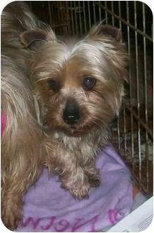 Silky Terrier/Yorkie, Yorkshire Terrier Mix Dog for adoption in Oak Ridge, New Jersey - Valerie